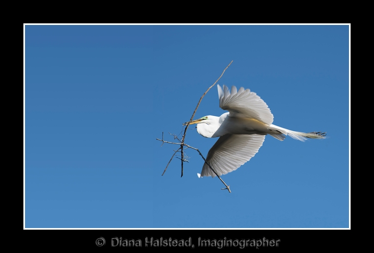 Flying Egret with twig FRAME and WATERMARK 3207
