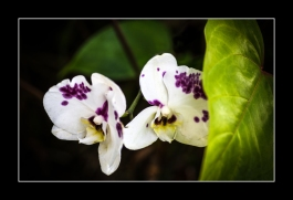 Orchids-Framed-2356
