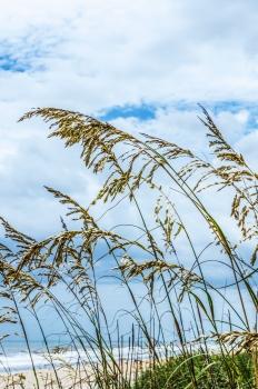Beach Wheat Grass