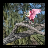 Spoonbill-Composite-limbs-tree-FRAMED-WATERMARK-3308