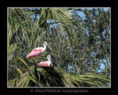 Spoonbills-2-in-Nest-FRAMED WATERMARK 3338