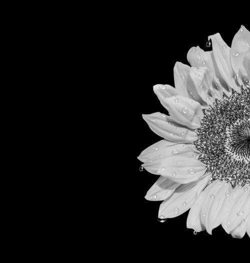 Sunflower Contest B&W Square