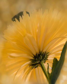 New Yellow 4 mum behind flower blurred 1047