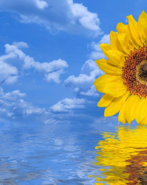 Sunflower Reflected